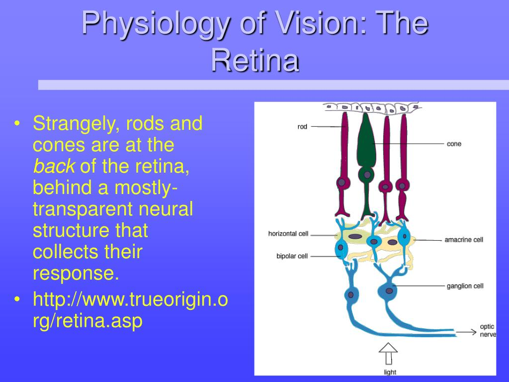 Physiology of Vision: The Retina