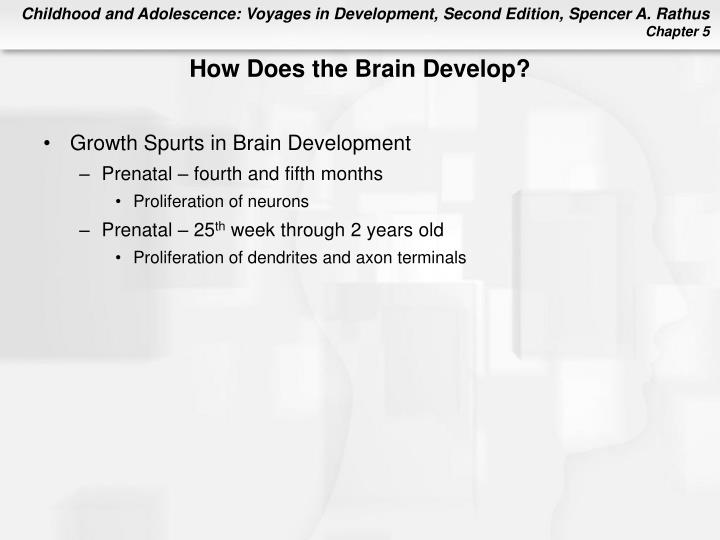 How Does the Brain Develop?