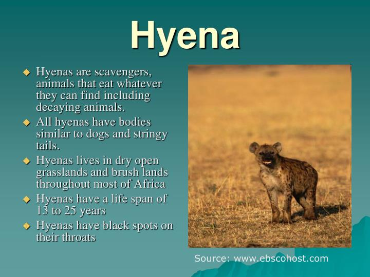 Hyenas are scavengers, animals that eat whatever they can find including decaying animals.