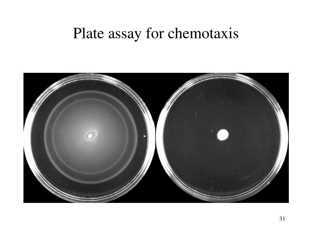 Plate assay for chemotaxis