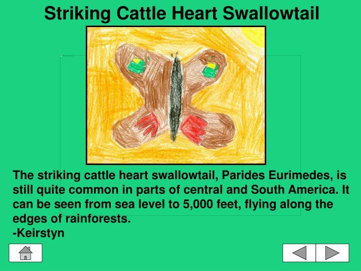 Striking Cattle Heart Swallowtail