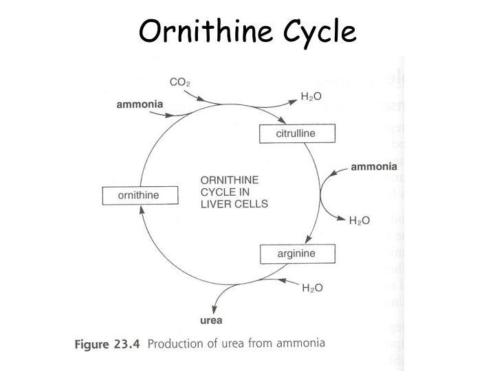 Ornithine Cycle