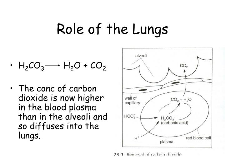 Role of the Lungs
