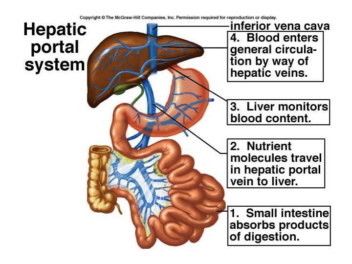 The Liver