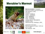 menzbier s marmot