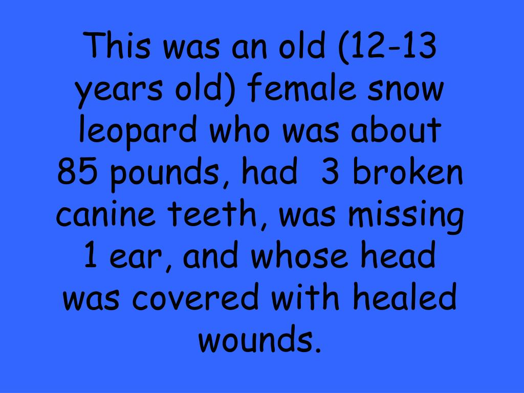 This was an old (12-13 years old) female snow leopard who was about 85 pounds, had  3 broken canine teeth, was missing 1 ear, and whose head was covered with healed wounds.