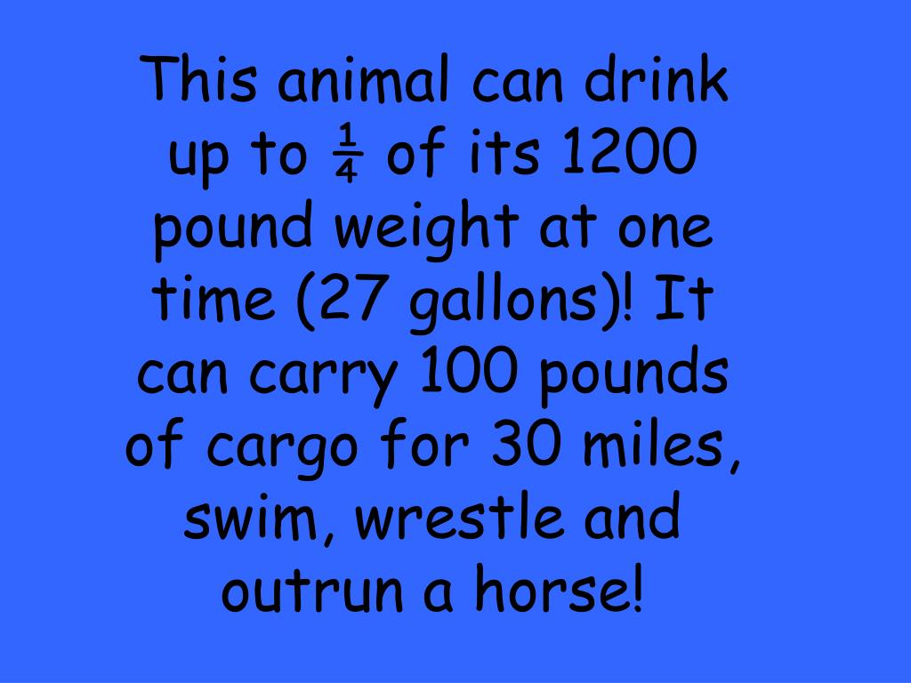 This animal can drink up to ¼ of its 1200 pound weight at one time (27 gallons)! It can carry 100 pounds of cargo for 30 miles, swim, wrestle and outrun a horse!