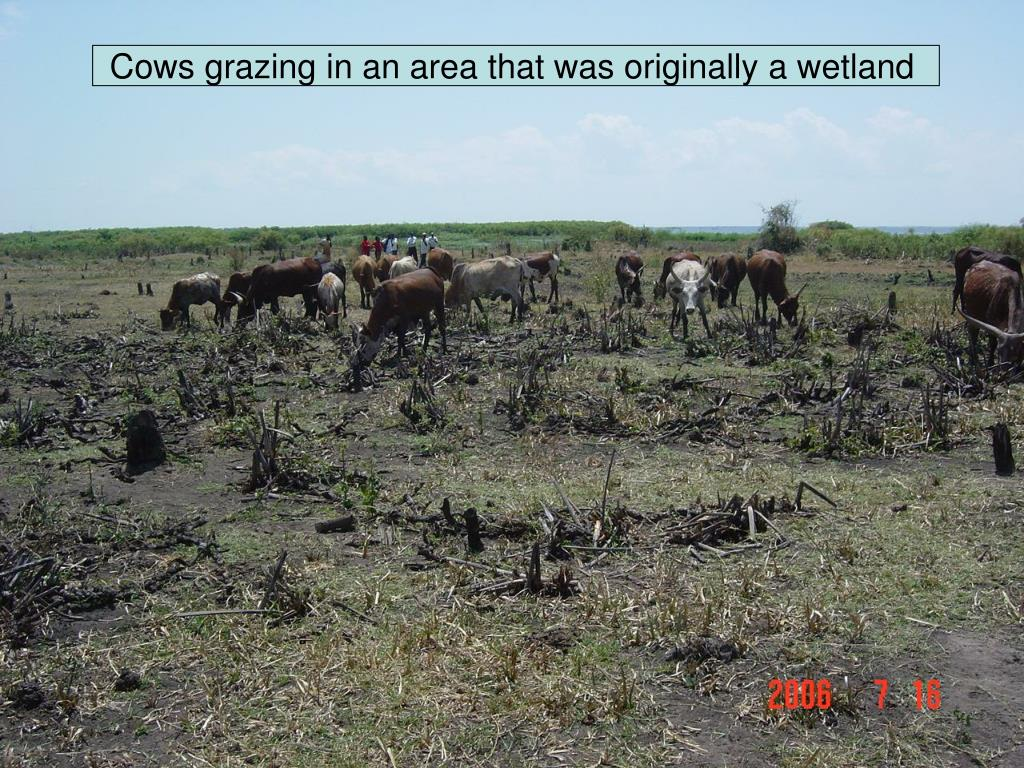 Cows grazing in an area that was originally a wetland