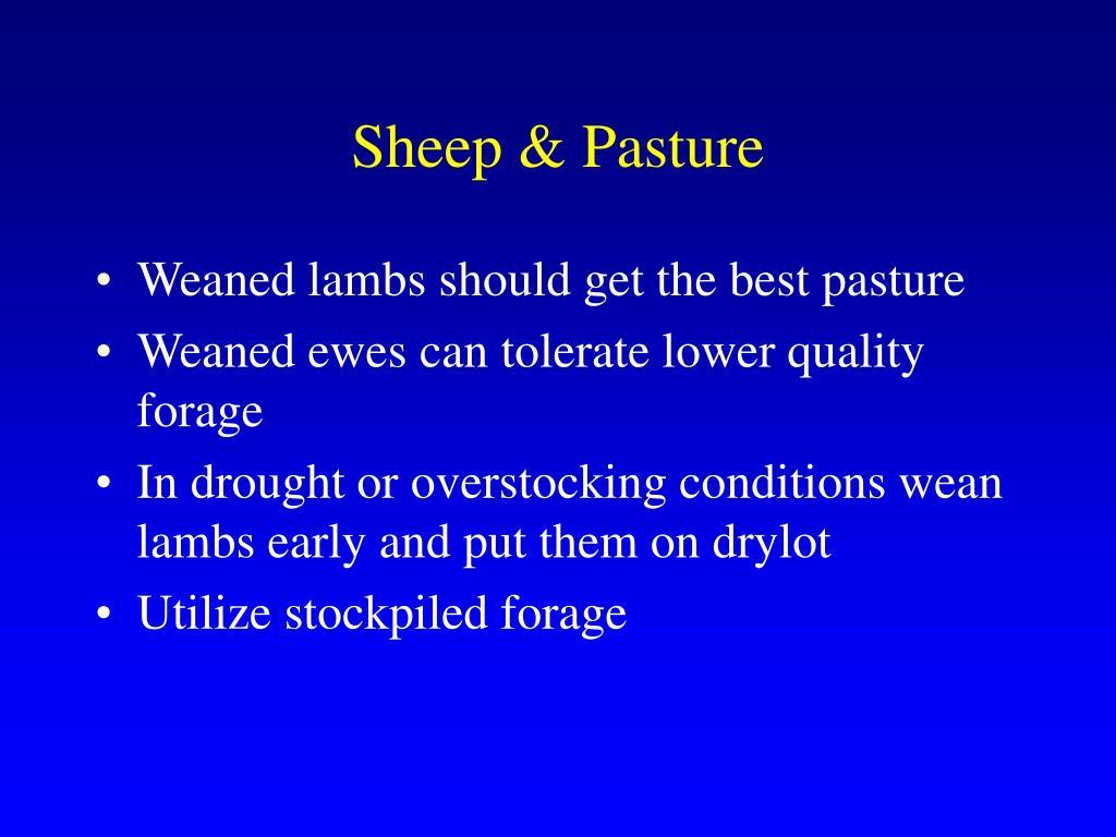 Sheep & Pasture