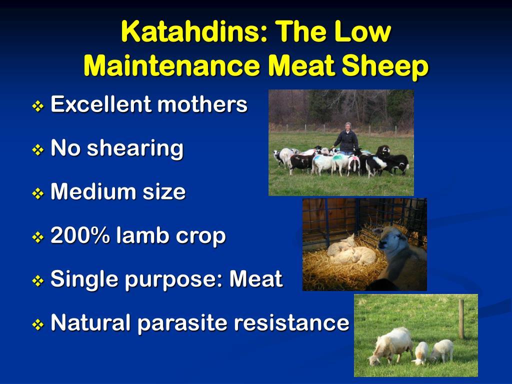 Katahdins: The Low Maintenance Meat Sheep