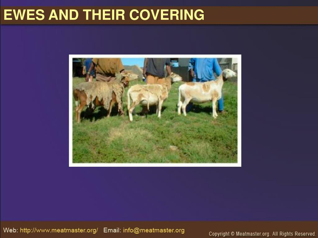 EWES AND THEIR COVERING