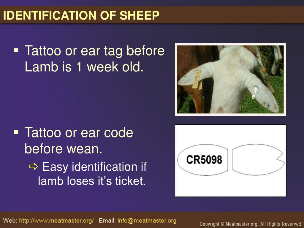 IDENTIFICATION OF SHEEP