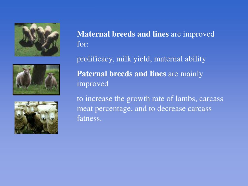 Maternal breeds and lines