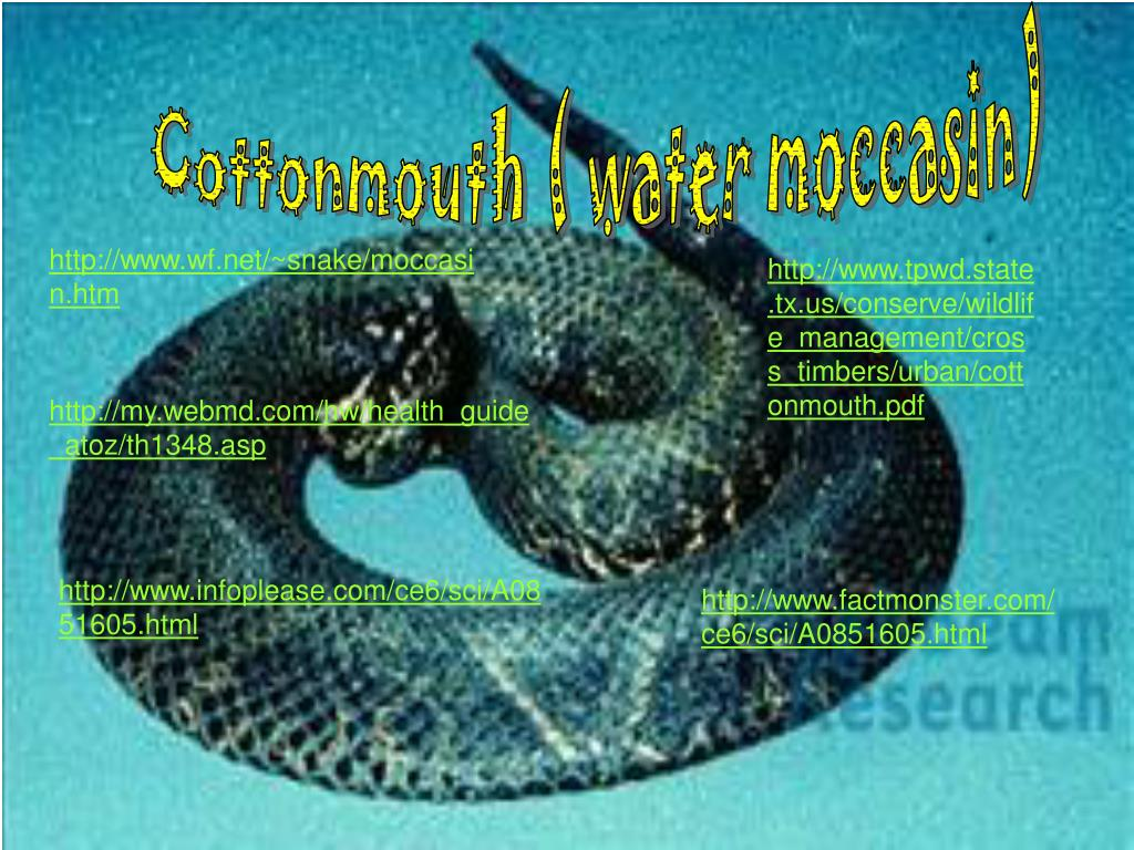 Cottonmouth ( water moccasin)
