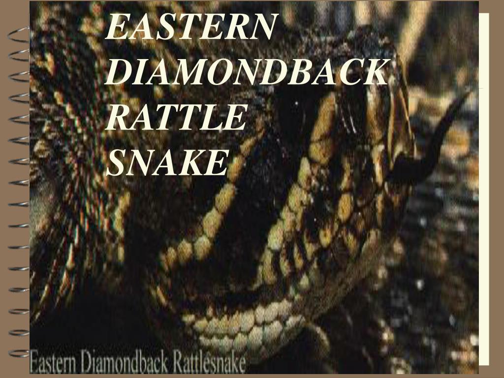 EASTERN DIAMONDBACK