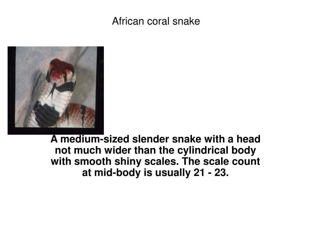 African coral snake