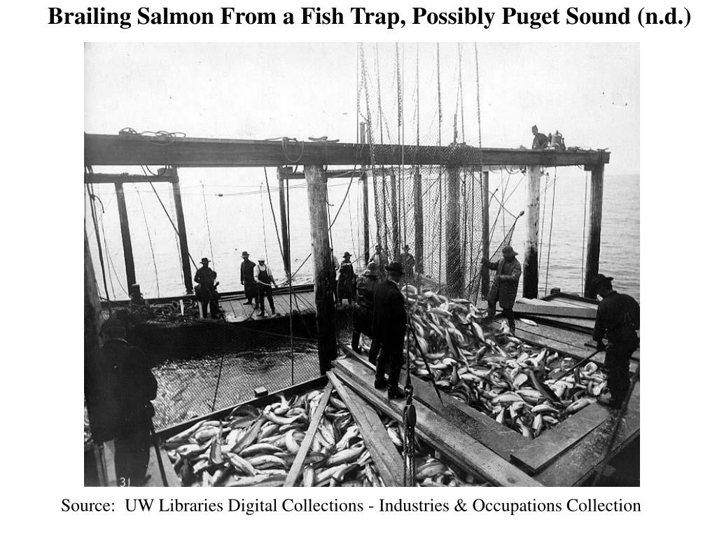 Brailing Salmon From a Fish Trap, Possibly Puget Sound (n.d.)