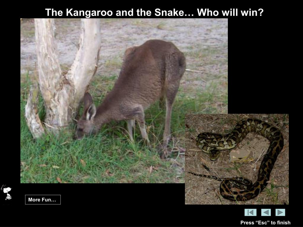 The Kangaroo and the Snake… Who will win?