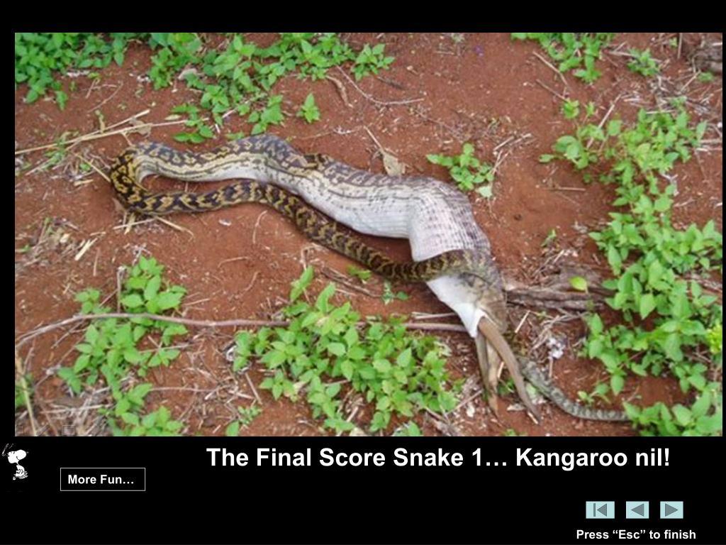 The Final Score Snake 1… Kangaroo nil!
