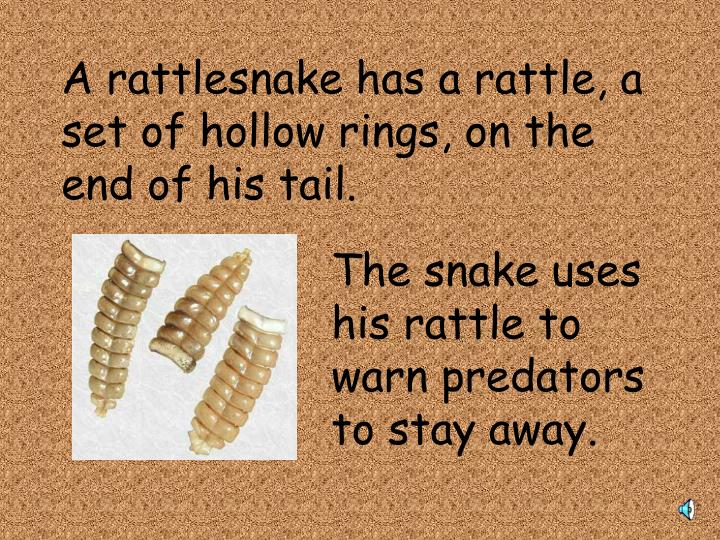 A rattlesnake has a rattle, a set of hollow rings, on the end of his tail.