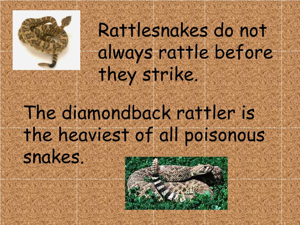Rattlesnakes do not always rattle before they strike.