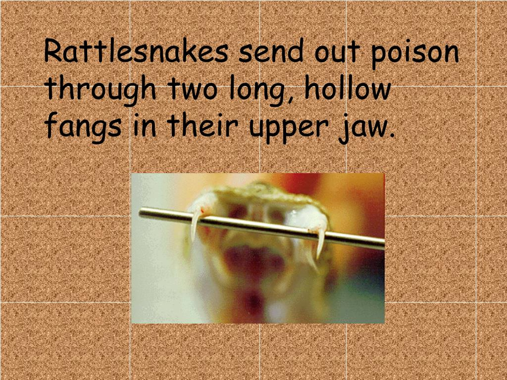 Rattlesnakes send out poison through two long, hollow fangs in their upper jaw.
