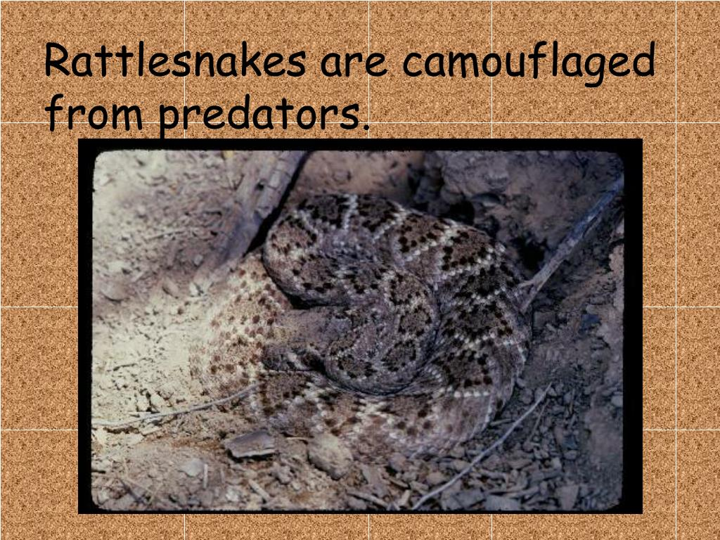 Rattlesnakes are camouflaged from predators.