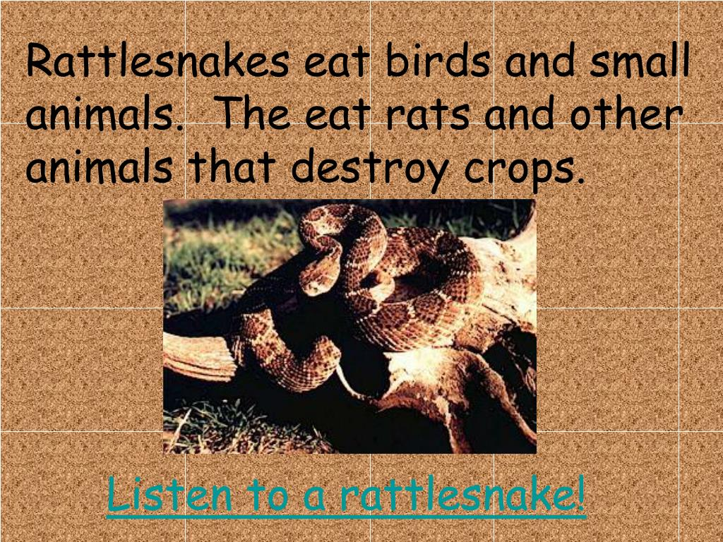 Rattlesnakes eat birds and small animals.  The eat rats and other animals that destroy crops.