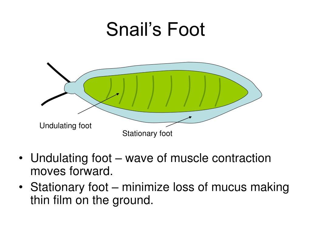 Snail's Foot