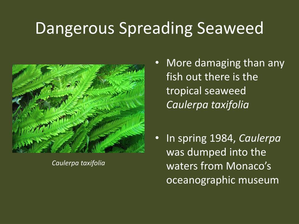 Dangerous Spreading Seaweed