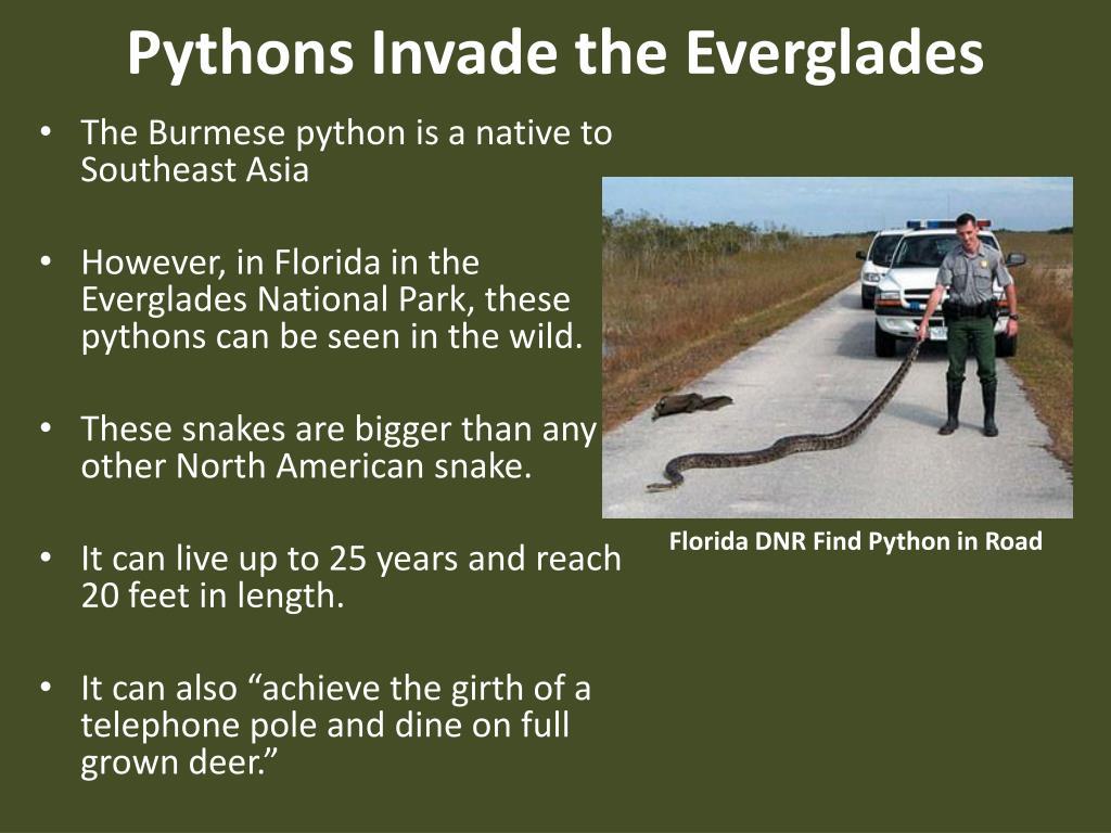 Pythons Invade the Everglades