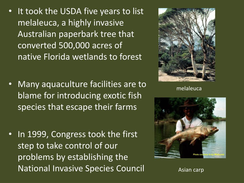 It took the USDA five years to list melaleuca, a highly invasive Australian paperbark tree that converted 500,000 acres of native Florida wetlands to forest