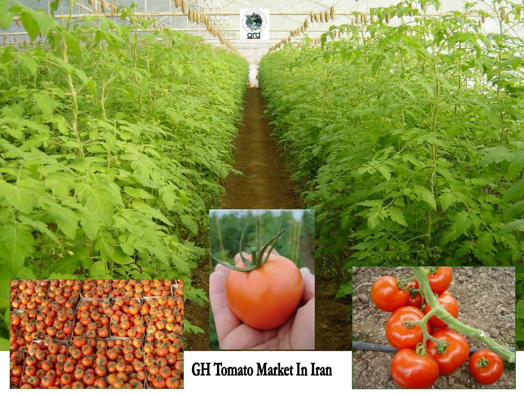 GH Tomato Market In Iran