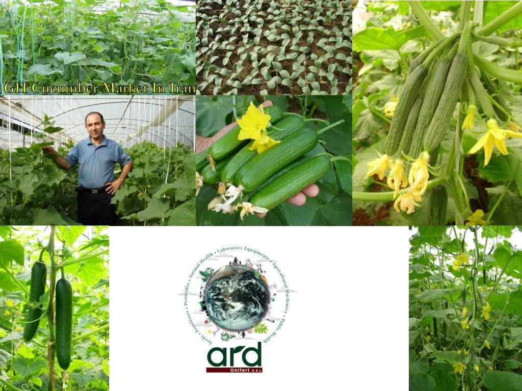 GH Cucumber Market In Iran