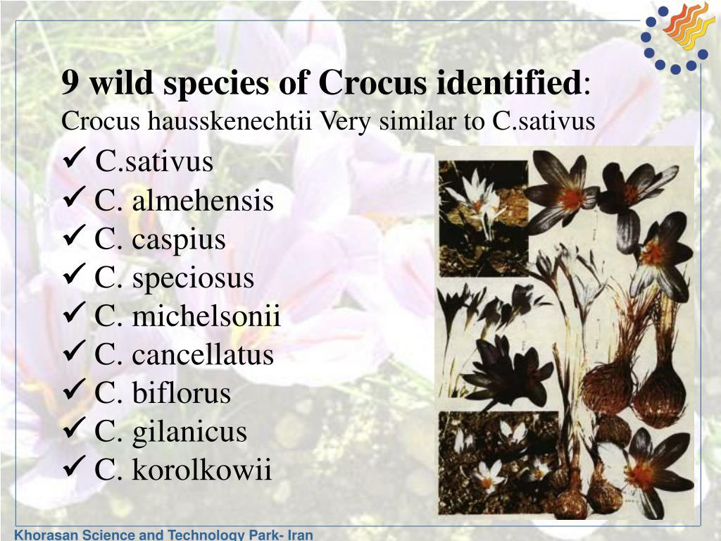 9 wild species of Crocus identified