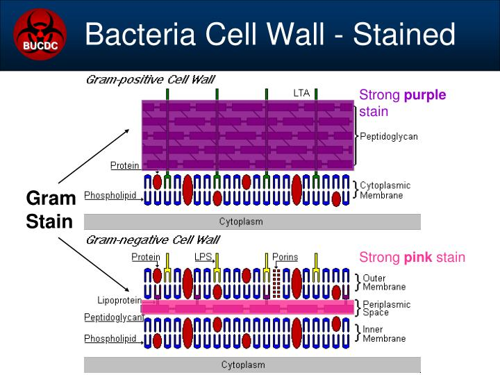 Bacteria Cell Wall - Stained