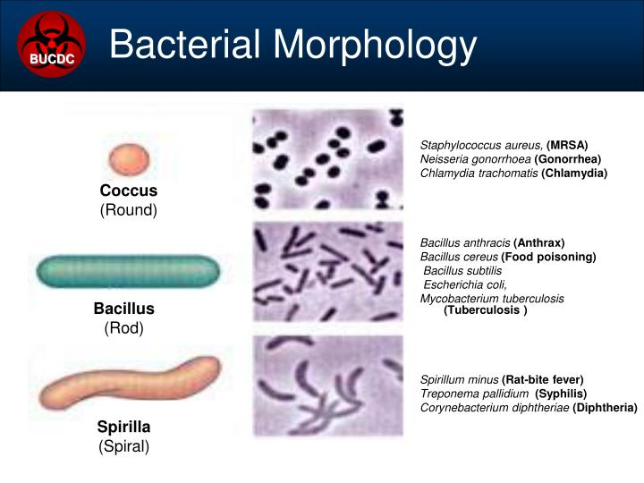 Bacterial Morphology