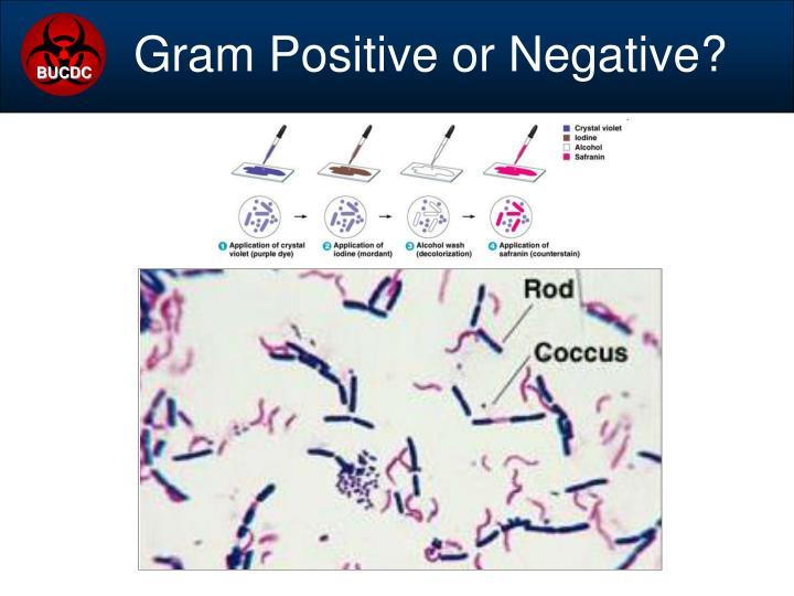 Gram Positive or Negative?