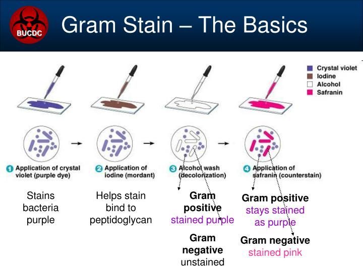 Stains bacteria purple