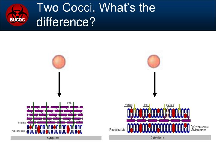 Two Cocci, What's the difference?