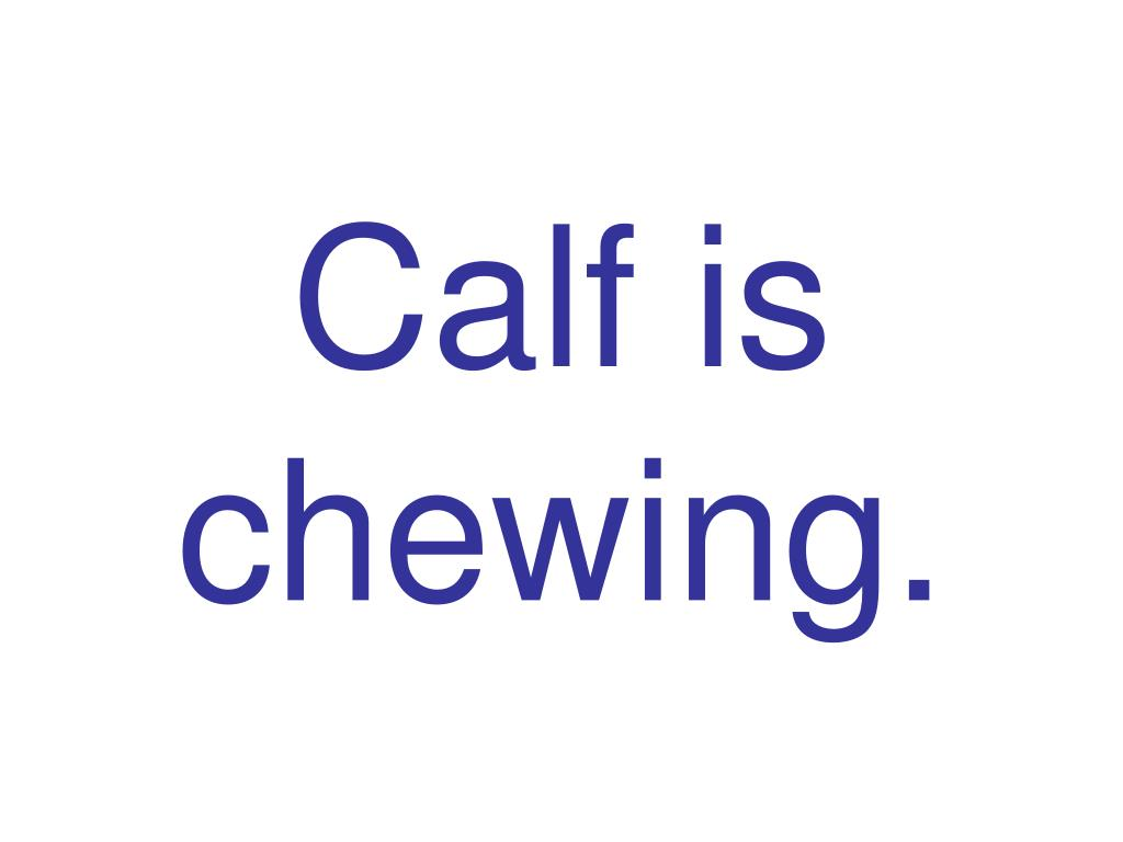Calf is chewing.