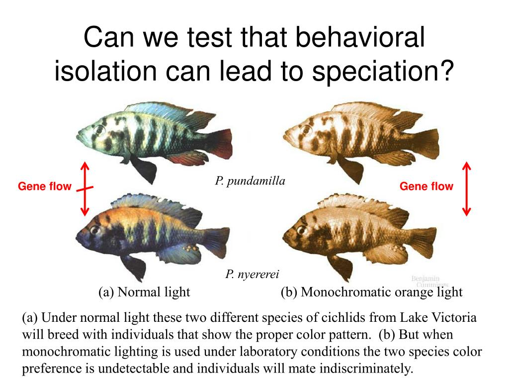 Can we test that behavioral isolation can lead to speciation?