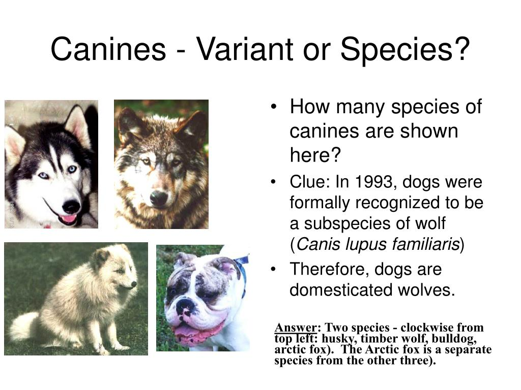 Canines - Variant or Species?