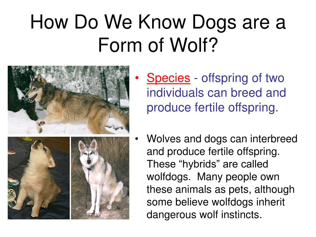 How Do We Know Dogs are a Form of Wolf?