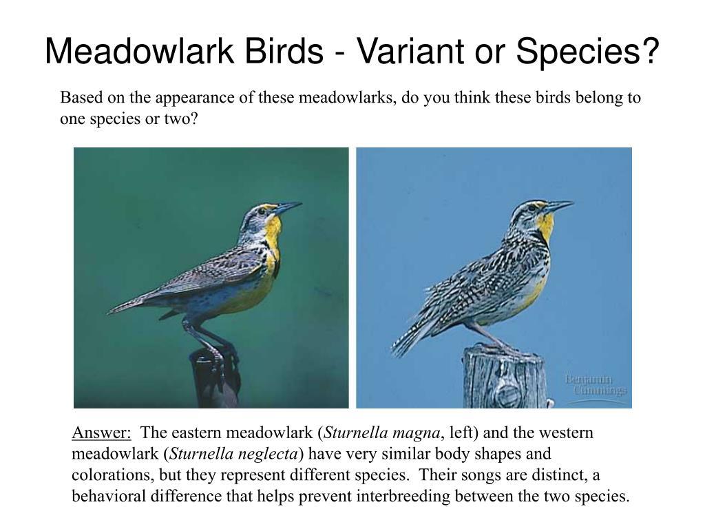 Meadowlark Birds - Variant or Species?