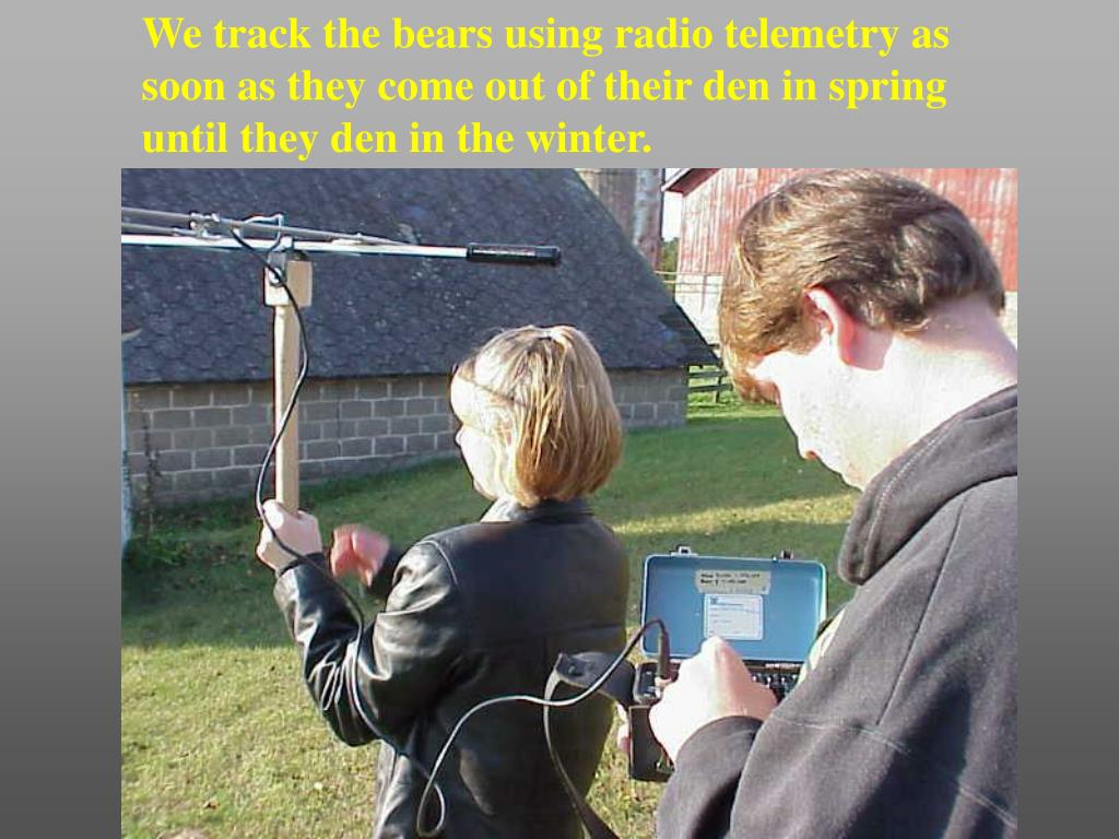 We track the bears using radio telemetry as soon as they come out of their den in spring until they den in the winter.
