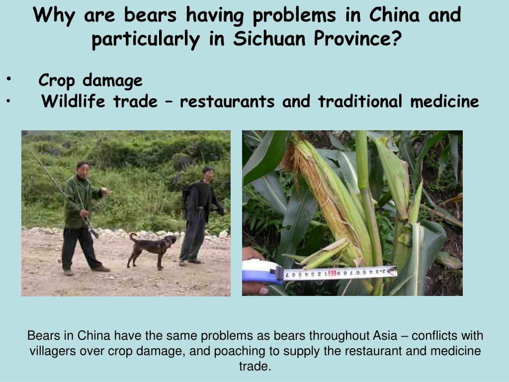 Why are bears having problems in China and particularly in Sichuan Province?