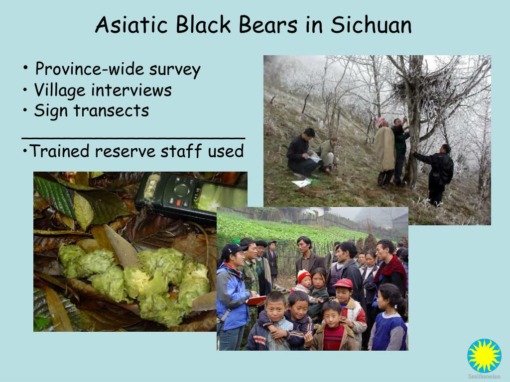 Asiatic Black Bears in Sichuan