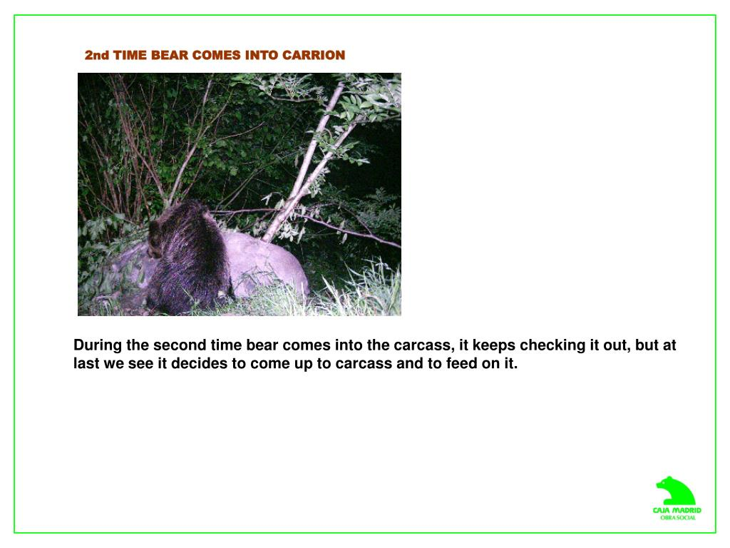 2nd TIME BEAR COMES INTO CARRION