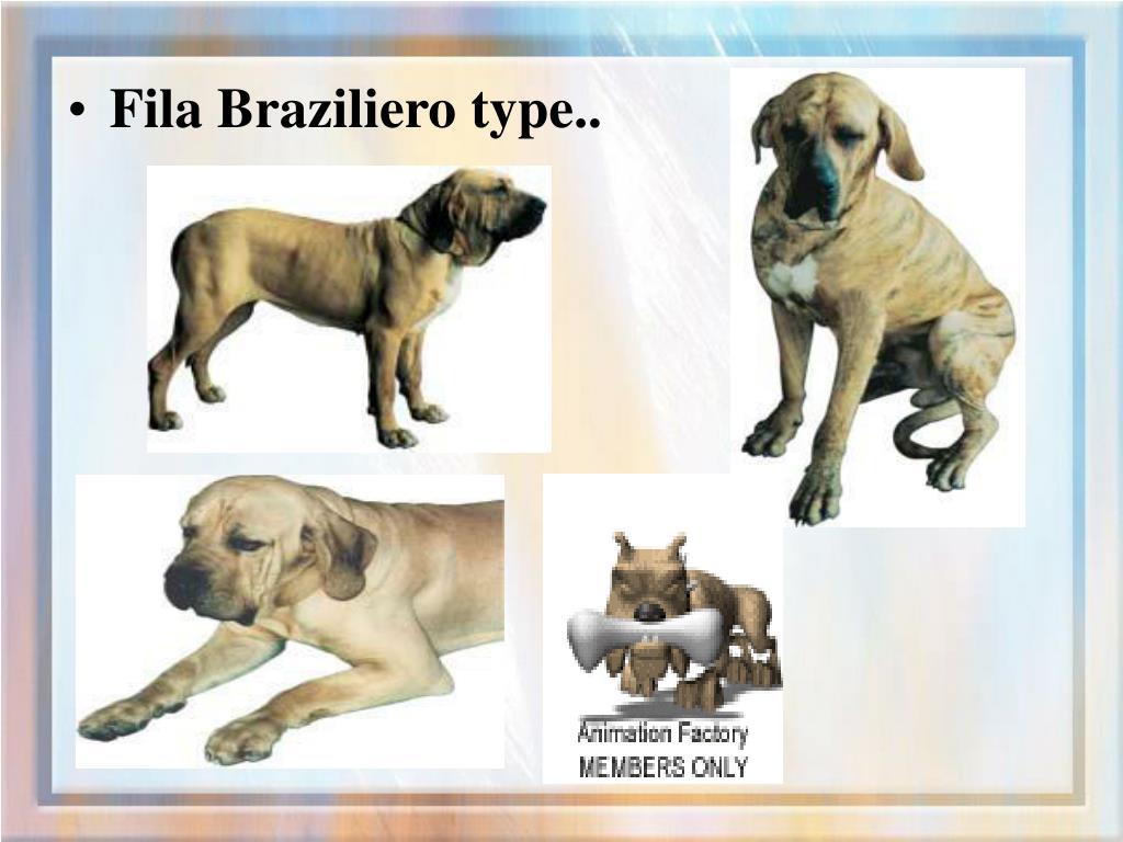 Fila Braziliero type..